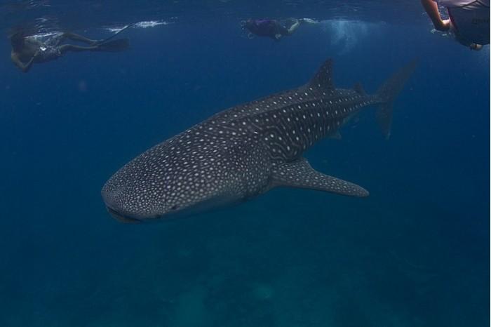 800px-Whale_shark_Maldives.jpg