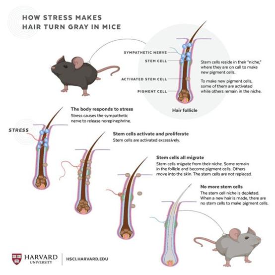 压力导致老鼠毛色变灰的示意图。(来源:Judy Blomquist/Harvard University)