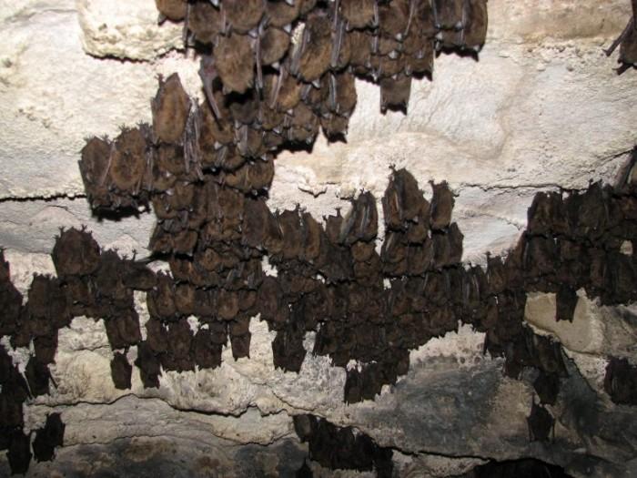 Hibernating-Bats-in-Vermont-Cave-777x583.jpg