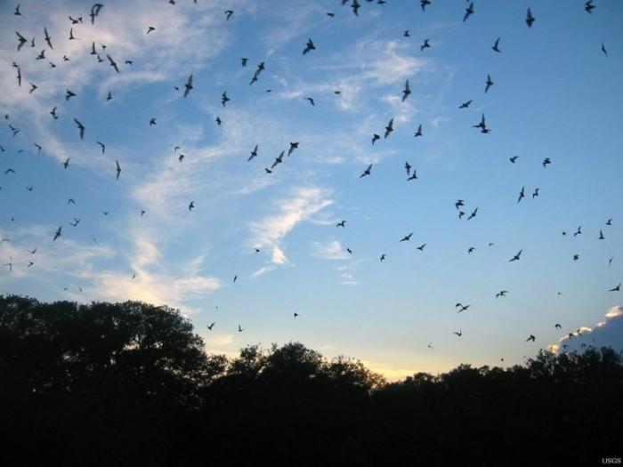 Brazilian-Free-Tailed-Bats-777x583.jpg