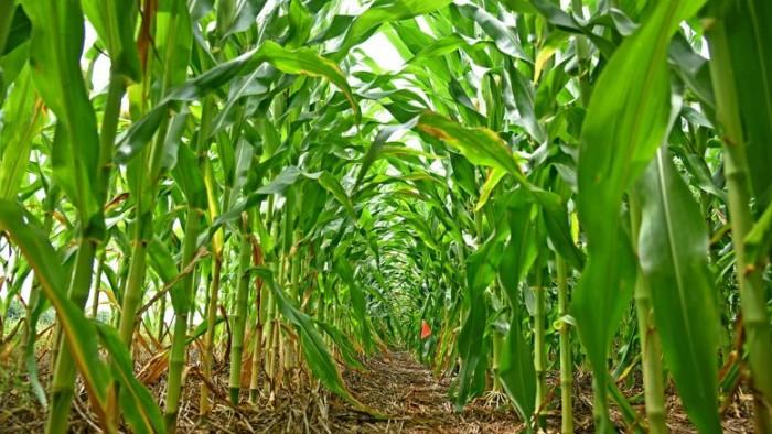Corn-Crops-777x437.jpg